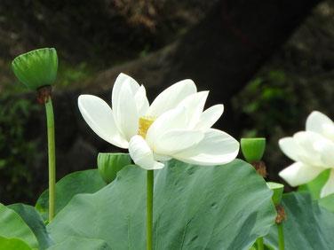 蓮の花(はすのはな) 鎌倉平家池 160728撮影 119