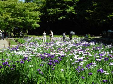 花菖蒲 明月院 160602撮影