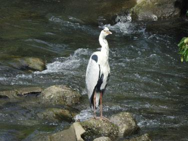 青鷺(あおさぎ) 散策路河川 200719撮影 531