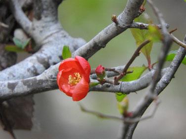 寒木瓜の花 散策路170104撮影 12