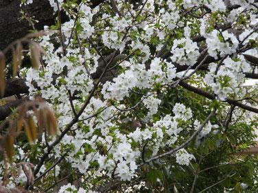 山桜(やまざくら) 散策路 200327撮影 1014
