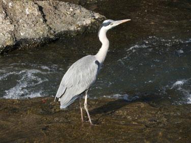 青鷺(あおさぎ) 散策路河川 191216撮影 443