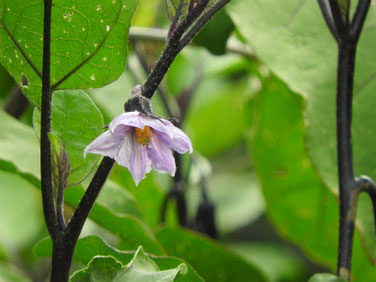 茄子の花(なすのはな) 散策路 170801撮影 305