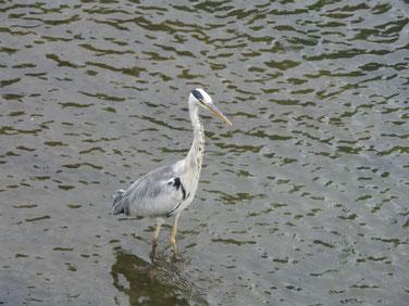 青鷺(あおさぎ) 散策路河川 170702撮影 102