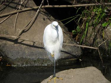 小鷺(こさぎ) 散策路河川 201109撮影 561