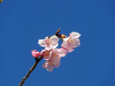 河津桜(かわずざくら)散策路 210209撮影 192