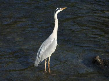 青鷺(あおさぎ) 散策路河川 180516撮影 184