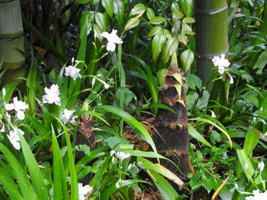 竹の子 散策路竹林 170418撮影 192