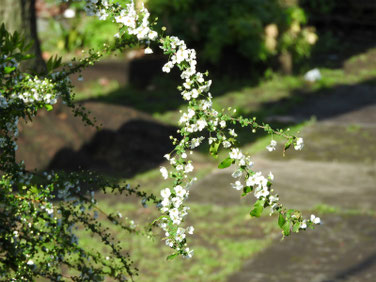 雪柳(ゆきやなぎ)散策路 200315撮影 977
