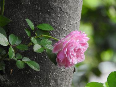 薔薇(ばら) 親水公園 210512撮影 1460