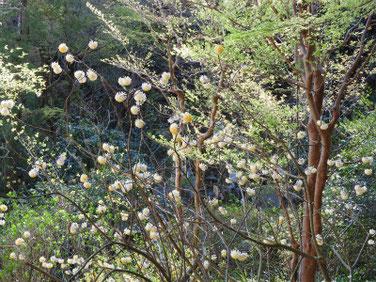三椏の花(みつまた) 東慶寺 190401撮影 697