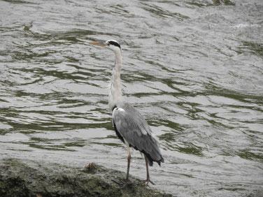 青鷺(あおさぎ) 散策路河川 180930撮影 223