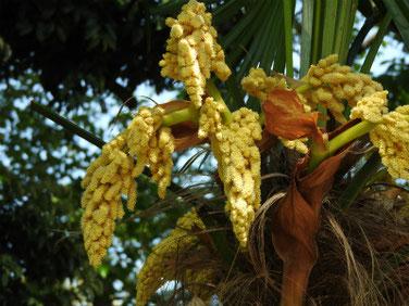 棕櫚の花(しゅろ) 散策路 170430撮影 231