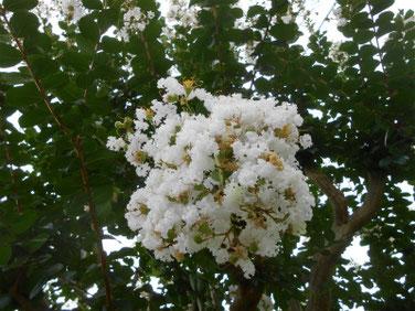 百日紅(さるすべり)白 マクロ 190806撮影 668