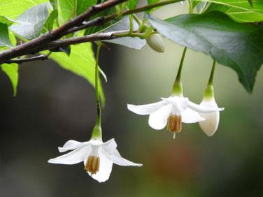 萵苣の木(エゴノキ)親水緑道 210423撮影 1403