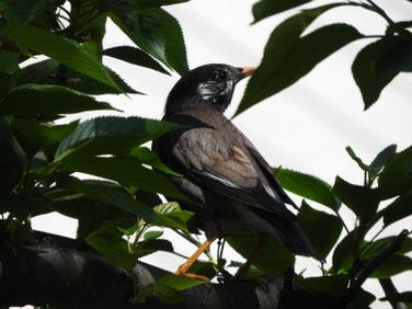 椋鳥(むくどり) 散策路 200424撮影 498