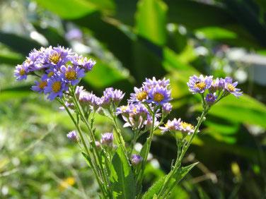 紫苑(しおん) 散策路 201013撮影 441
