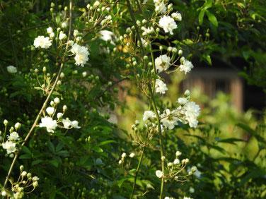 木香薔薇(もっこうばら)白色散策路210403撮影  1296
