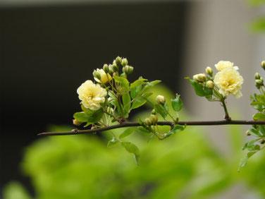 木香薔薇(もっこうばら)黄色 散策路 180412撮影 442