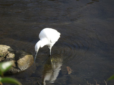 小鷺(こさぎ) 散策路河川 181207撮影 251