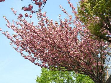 八重桜(やえざくら) 散策路 190420撮影 770
