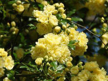 木香薔薇(もっこう)黄色 散策路 160422撮影 42