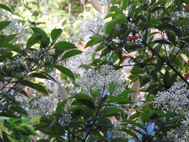 胡麻木の花(ごまき) 散策路公園 190511撮影 873
