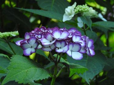 紫陽花 明月院 160602撮影 17