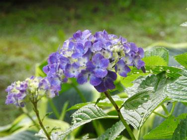 紫陽花(アジサイ) 散策路 210530撮影 1483