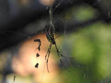 蜘蛛 散策路 171109撮影 122