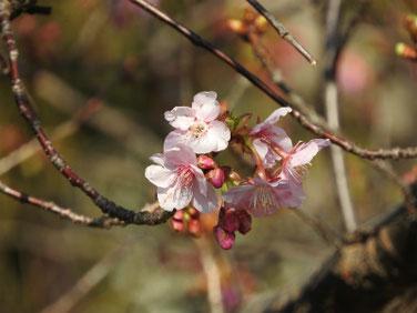 寒桜(かんざくら) 散策路 190218撮影 112