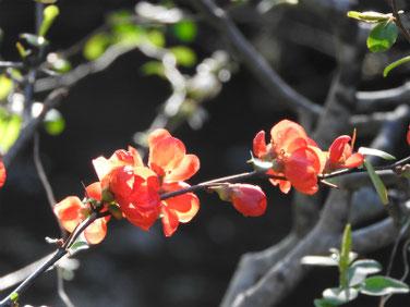 木瓜の花(ぼけ)親水緑道 200315撮影 980