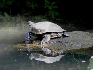 アカミミガメ 親水公園の池 200511撮影 504
