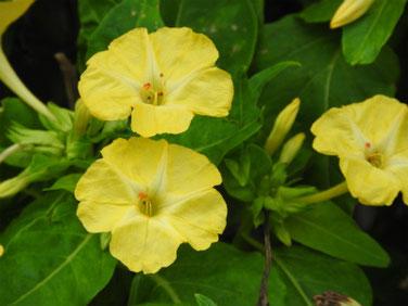白粉花(おしろいばな)黄色 散策路 181015撮影 264