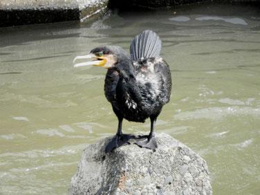 川鵜(かわう) 散策路河川分水路 200712撮影 522