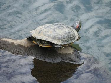 アカミミガメ 散策路河川 200626撮影 517