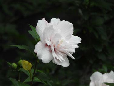 木槿(むくげ) 散策路 160702撮影 85