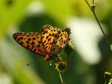 小栴檀草と蝶 散策路 161112撮影 26