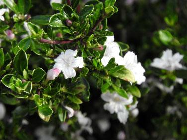 白丁花(ハクチョウゲ)散策路 200515撮影 1152