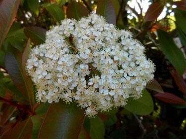 要黐の花(かなめもち)マクロ 210426撮影 1342