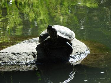 アカミミガメ 散策路親水公園池 191005撮影 395
