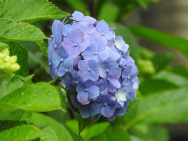 紫陽花(あじさい) 散策路 170614撮影 195