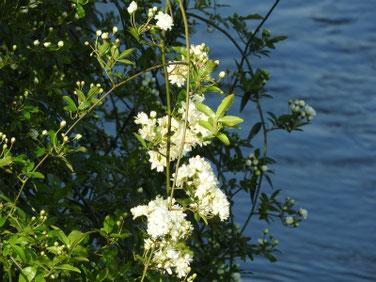 木香薔薇(もっこうばら)白色 散策路190420撮影 775
