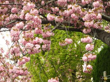 八重桜(やえざくら) 散策路 180412撮影 441