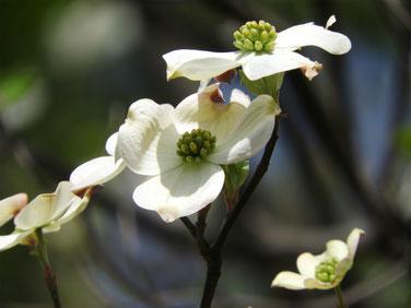 花水木 白 散策路 160418撮影 36