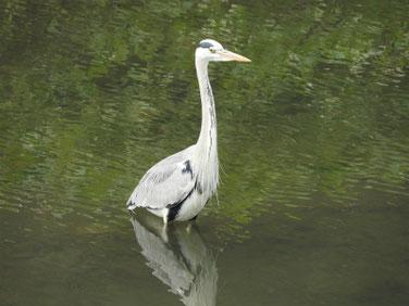 青鷺(あおさぎ) 散策路河川 161105撮影 13