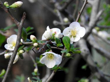 木瓜の花(ぼけのはな) 親水緑道 210317撮影 1232