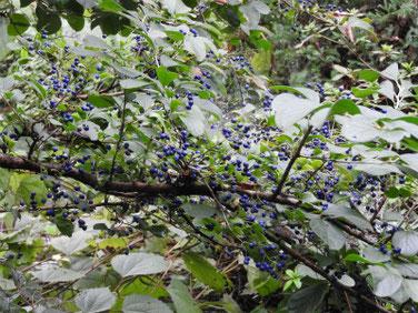 沢蓋木の青い実(サワフタギ)親水緑道200927撮影 425