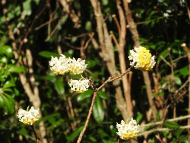 三椏の花(みつまた) 散策路公園 200311撮影 952