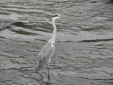 青鷺(あおさぎ) 散策路河川 181003撮影 225